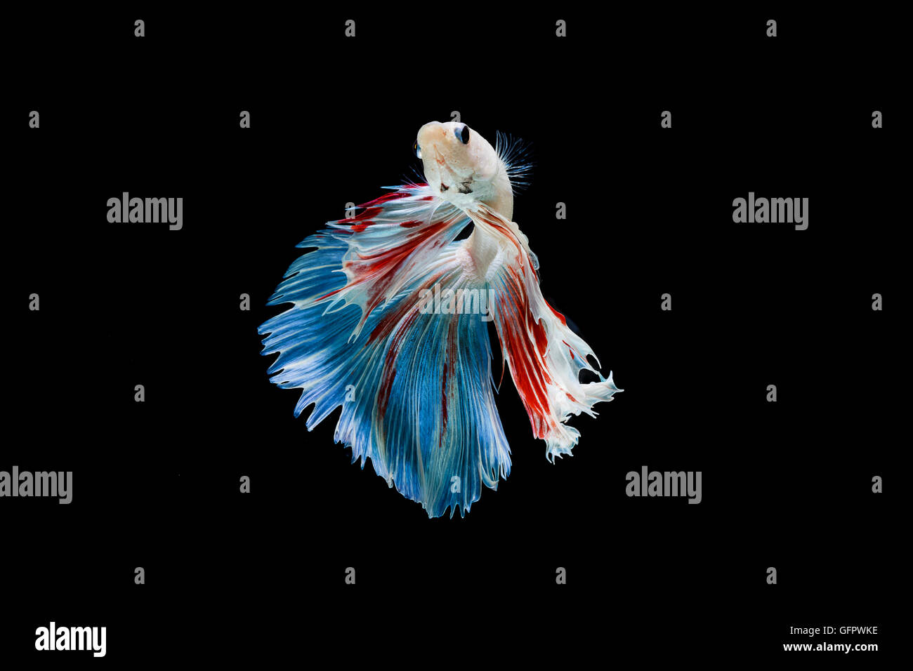 Moment of betta fish, siamese fighting fish isolated on black background - Stock Image