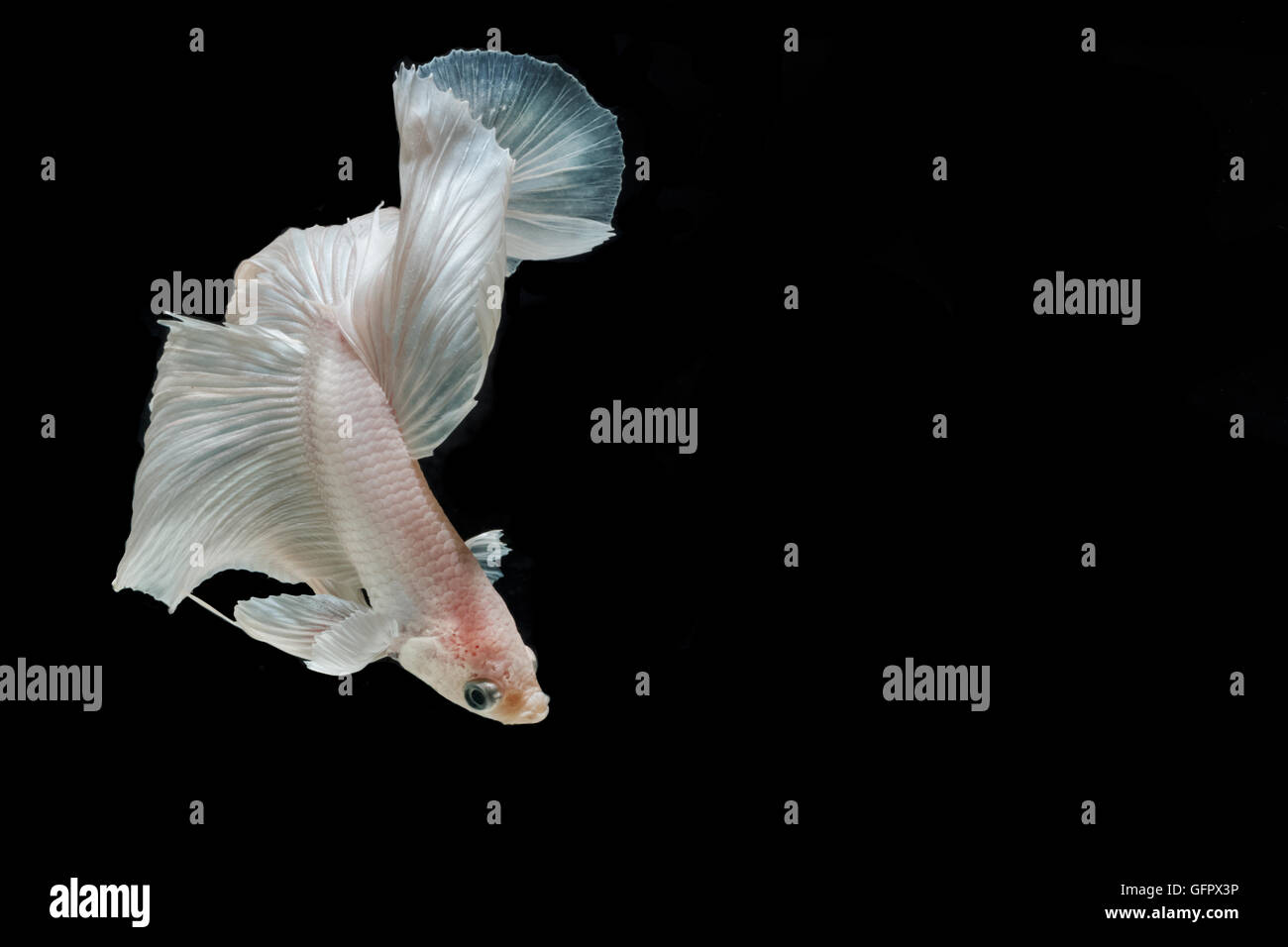 Moment of betta fish, siamese fighting fish isolated on black background Stock Photo
