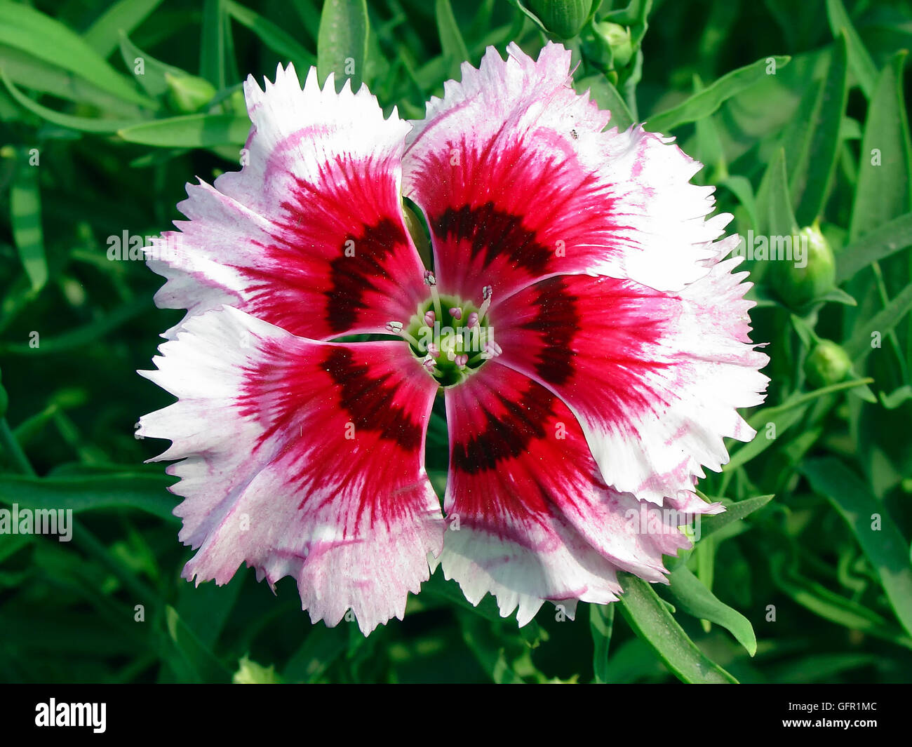 China Pink Japanese Pink Dianthus Chinensis Annual Cultivated