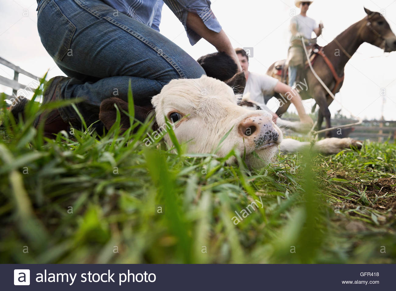 Cattle ranchers holding cow down for branding - Stock Image
