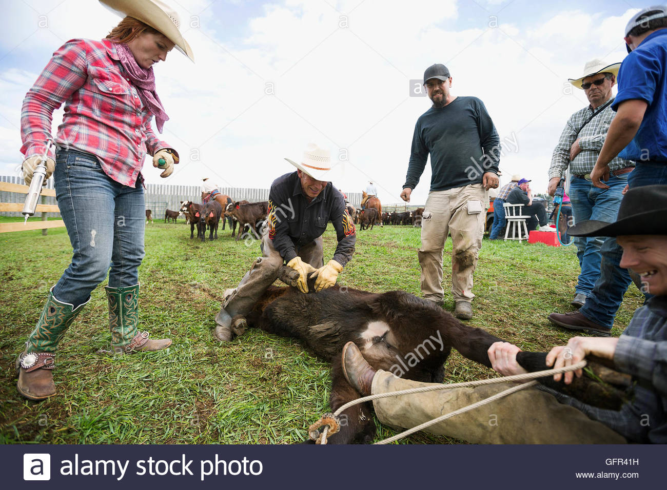 Cattle ranchers preparing to vaccinate cow Stock Photo