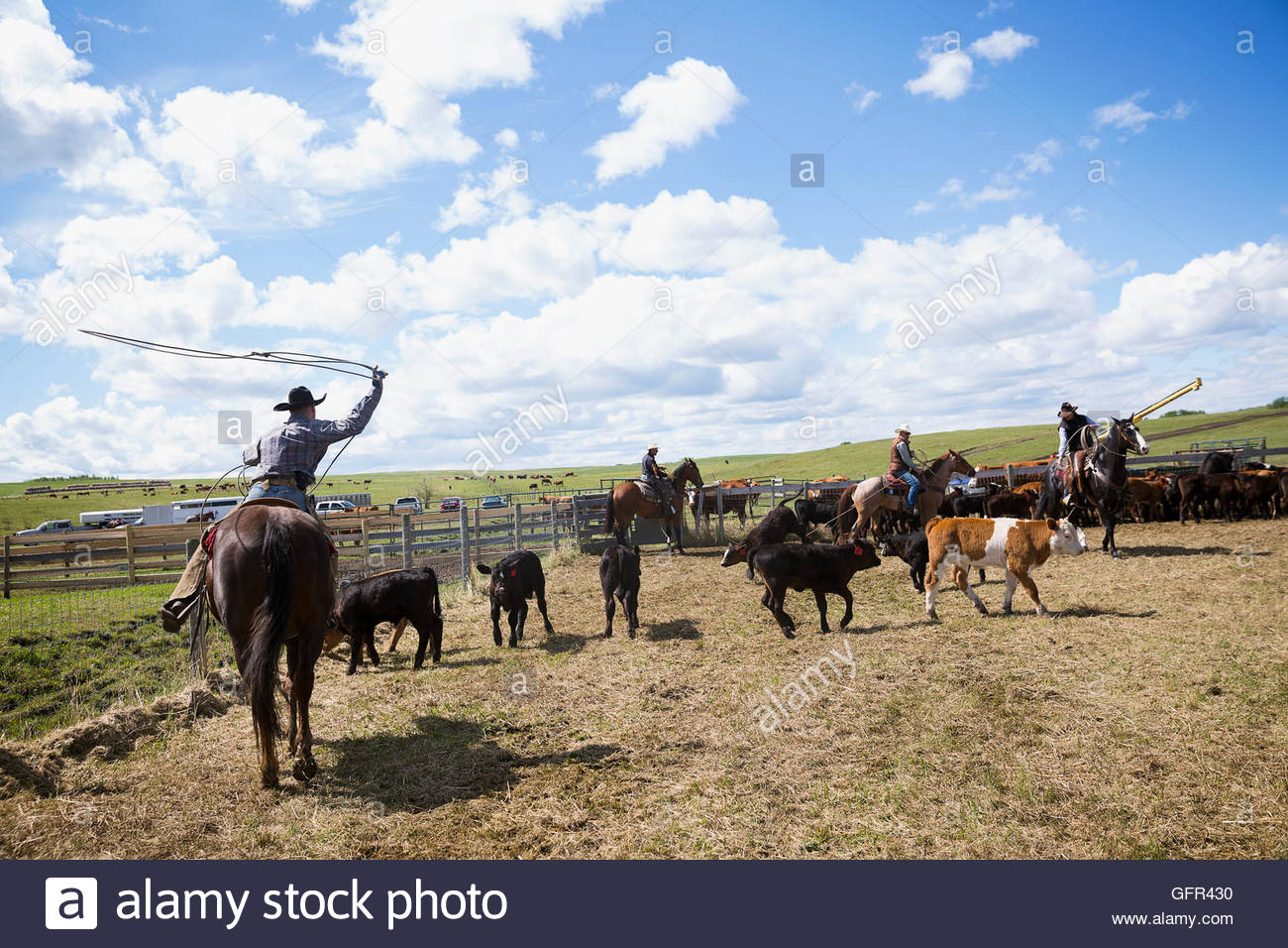 Cattle ranchers on horseback lassoing cows - Stock Image