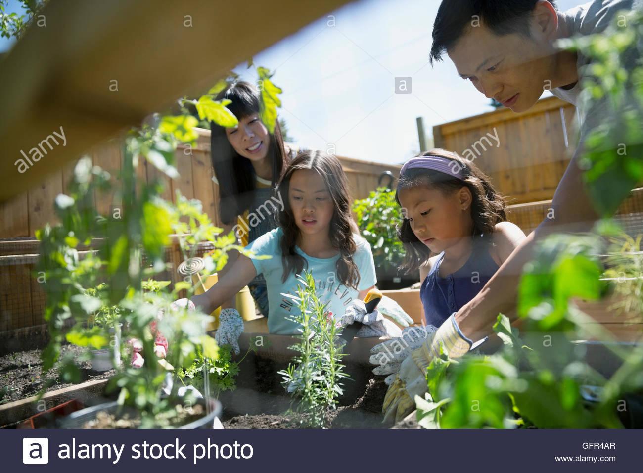 Family planting herbs in sunny garden - Stock Image