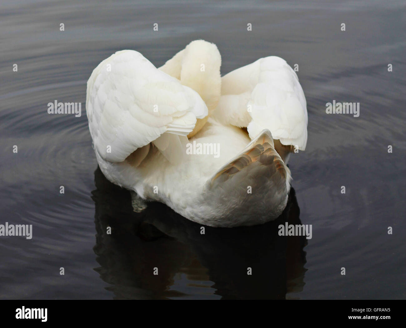 contorted pose of a swan with its neck underneath its wing, viewed from behind - Stock Image