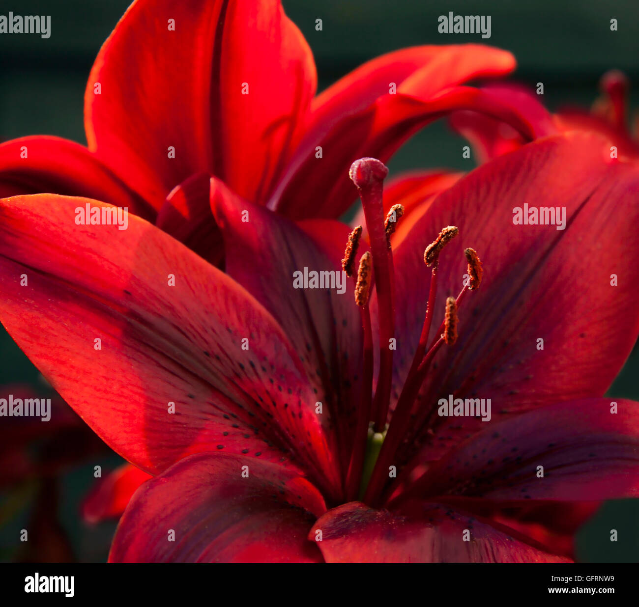 Lily (Oriental) in deep red/copper - Stock Image