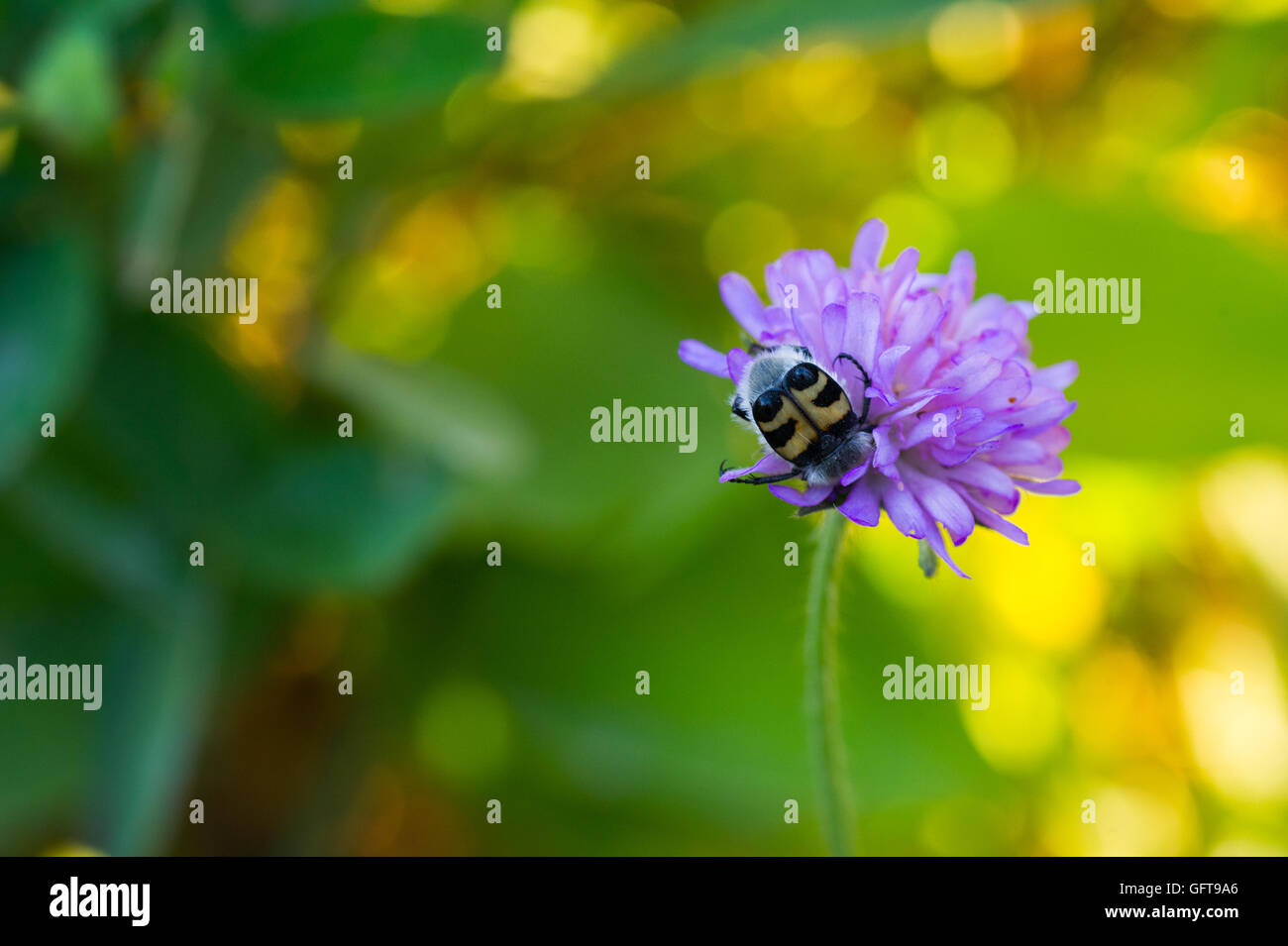 An insect sucking nectar from a flower. - Stock Image