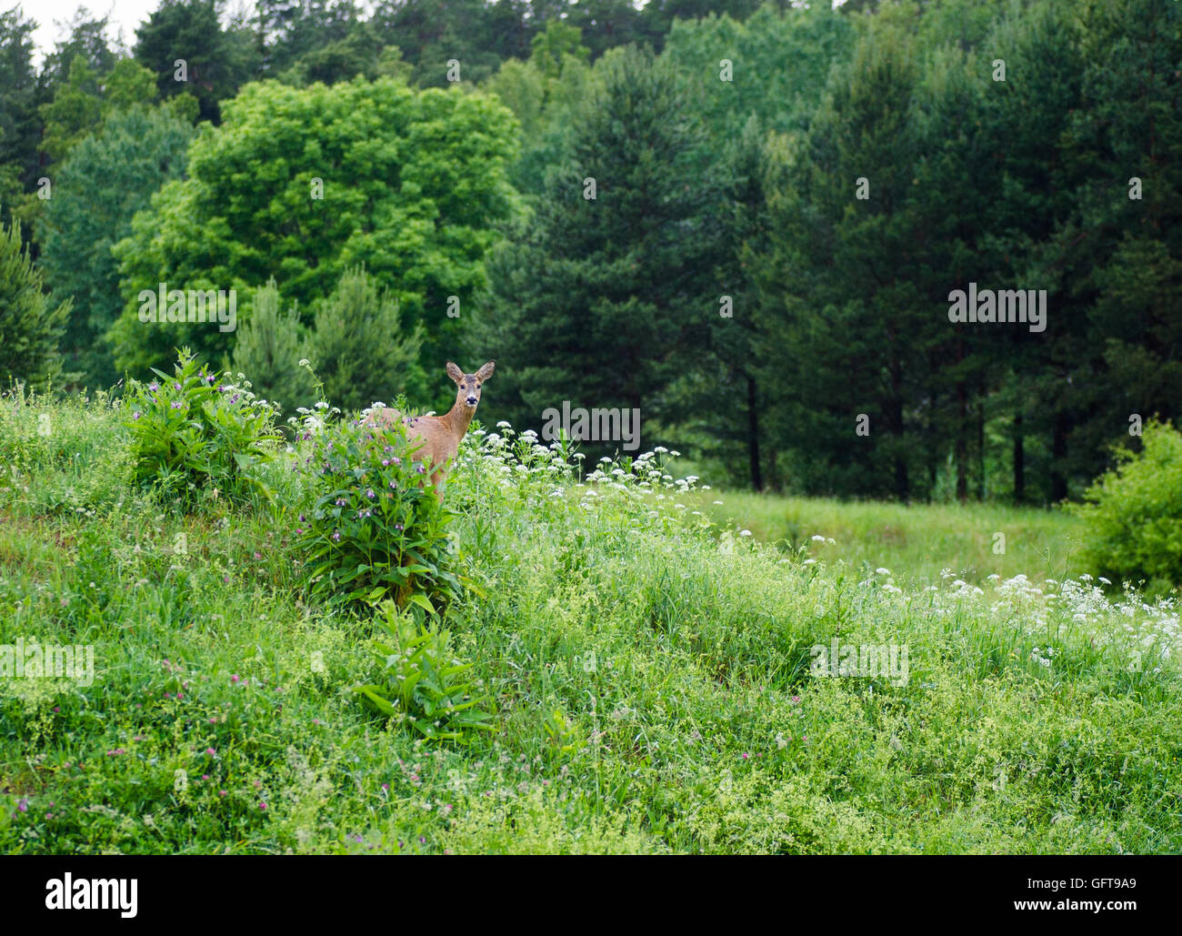 A roe deer in the Swedish forest. Stock Photo