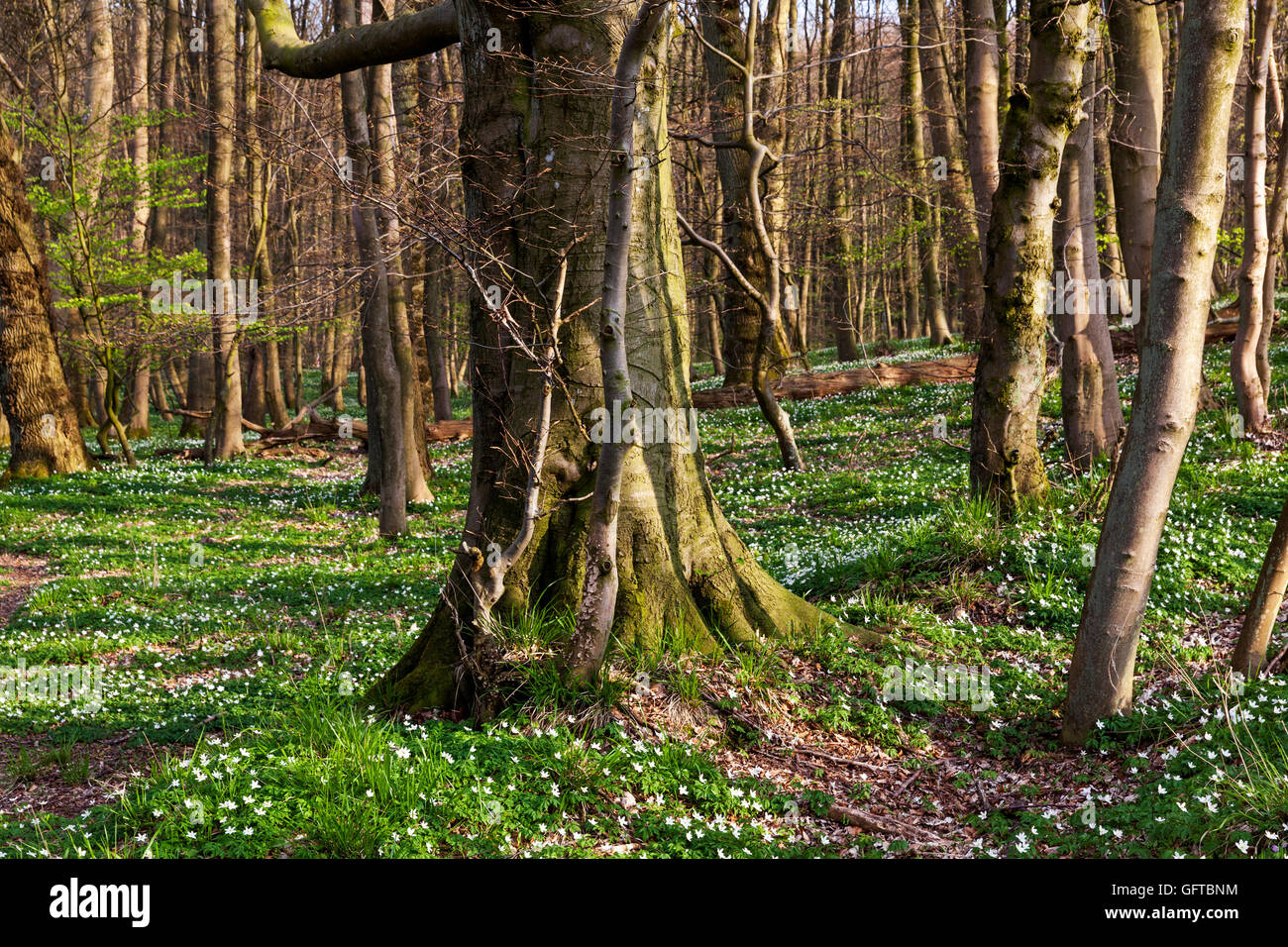 Blooming anemones in a beech forest, Europe. - Stock Image