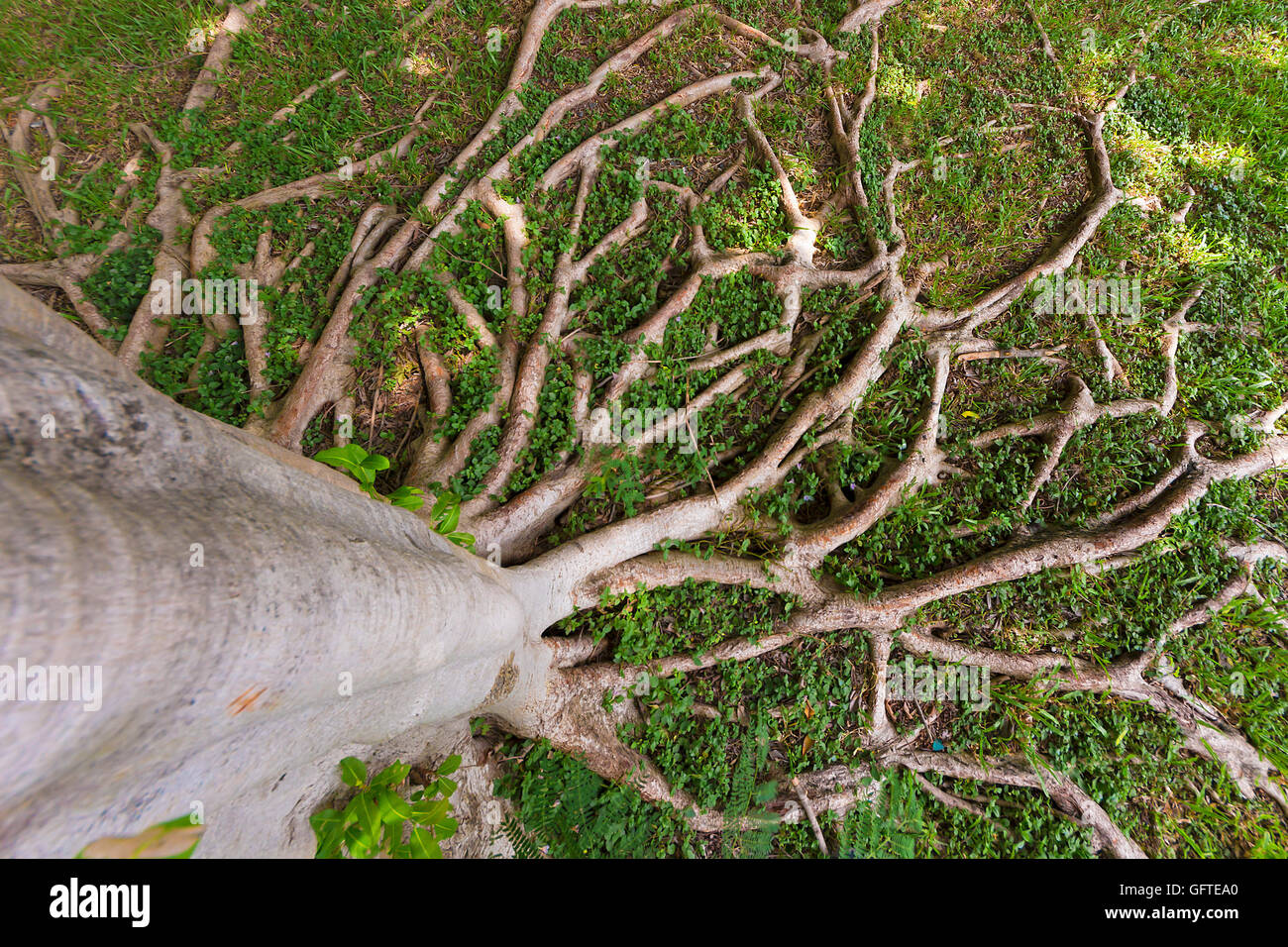 Tree roots spread on the lawn under the shade photographed from a high angle . - Stock Image