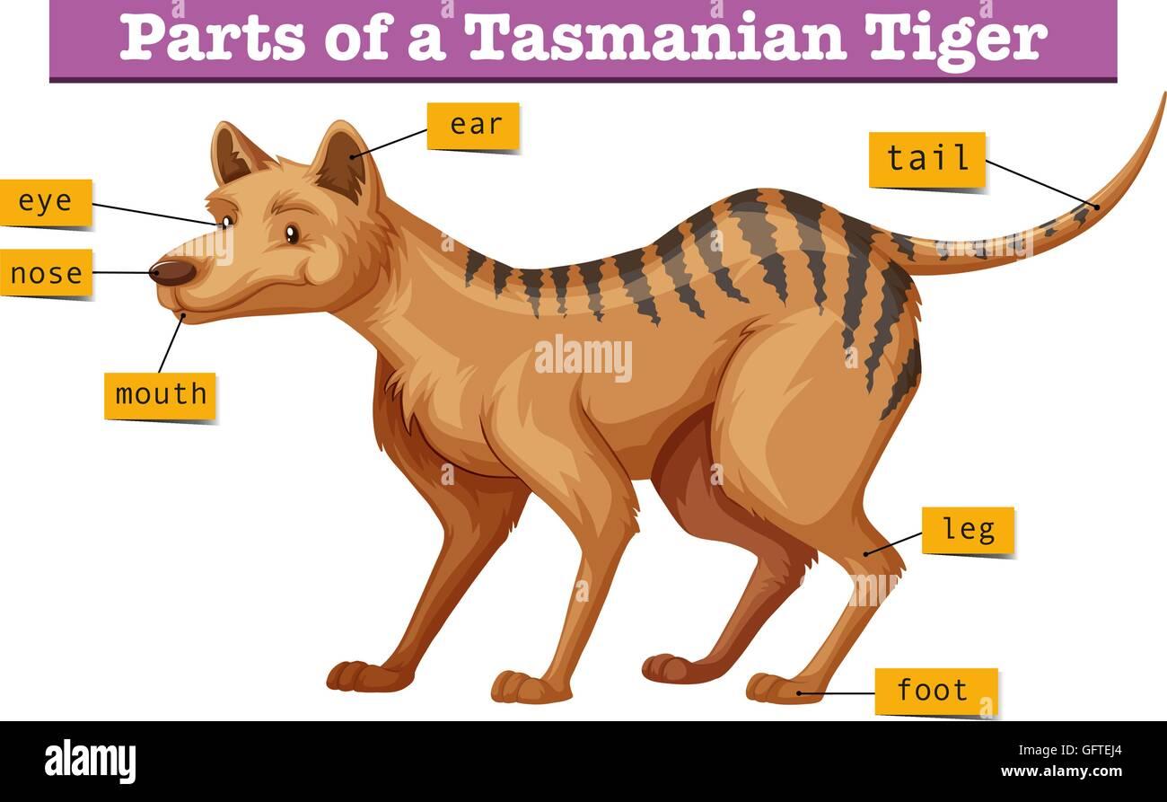 Diagram Showing Parts Of Tasmanian Tiger Stock Vector Manual Guide