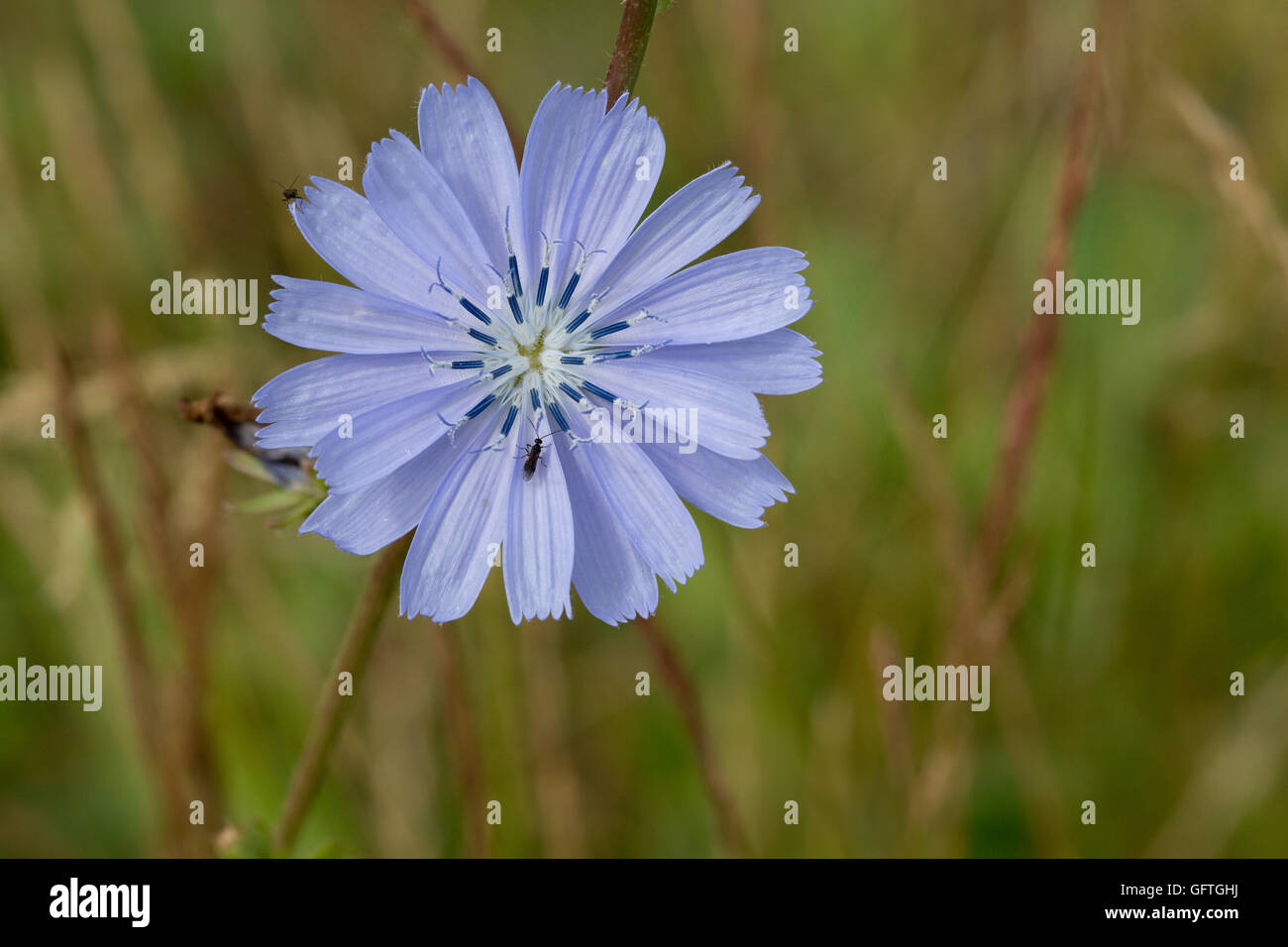 Blue flower head of chickory Cichorium intybus insect friendly edible wild food Cotswolds UK - Stock Image