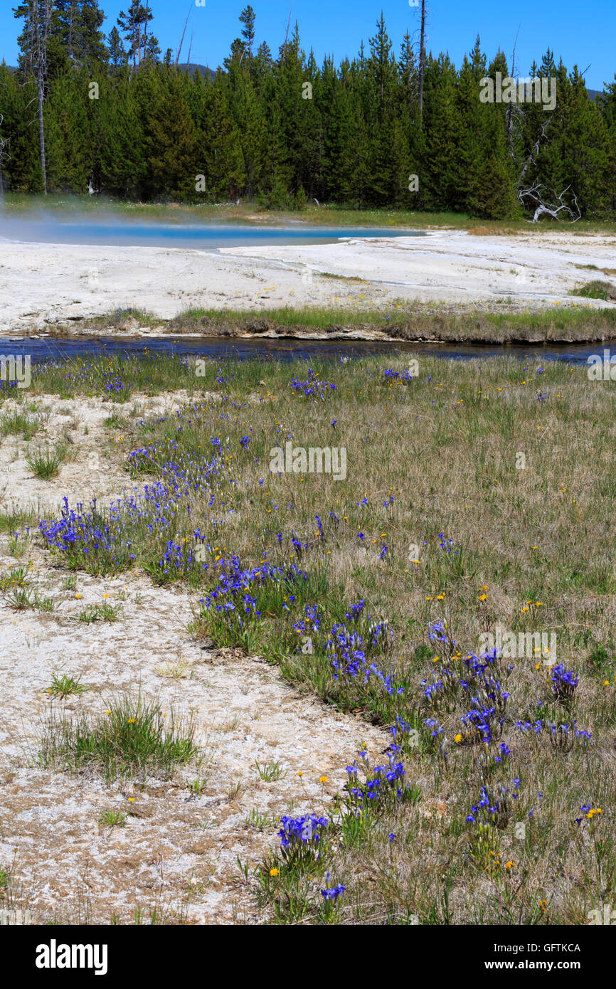 Pleated gentians grow in the wet soil beside Iron Creek, Black Sand Basin, Yellowstone National Park - Stock Image
