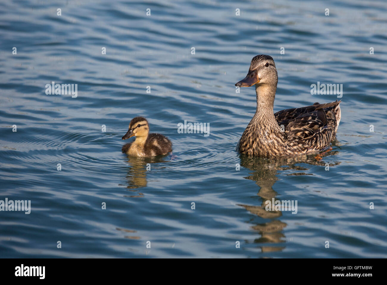 Windsor, Ontario, Canada - A female mallard (Anas platyrhynchos) and her duckling on the Detroit River. - Stock Image