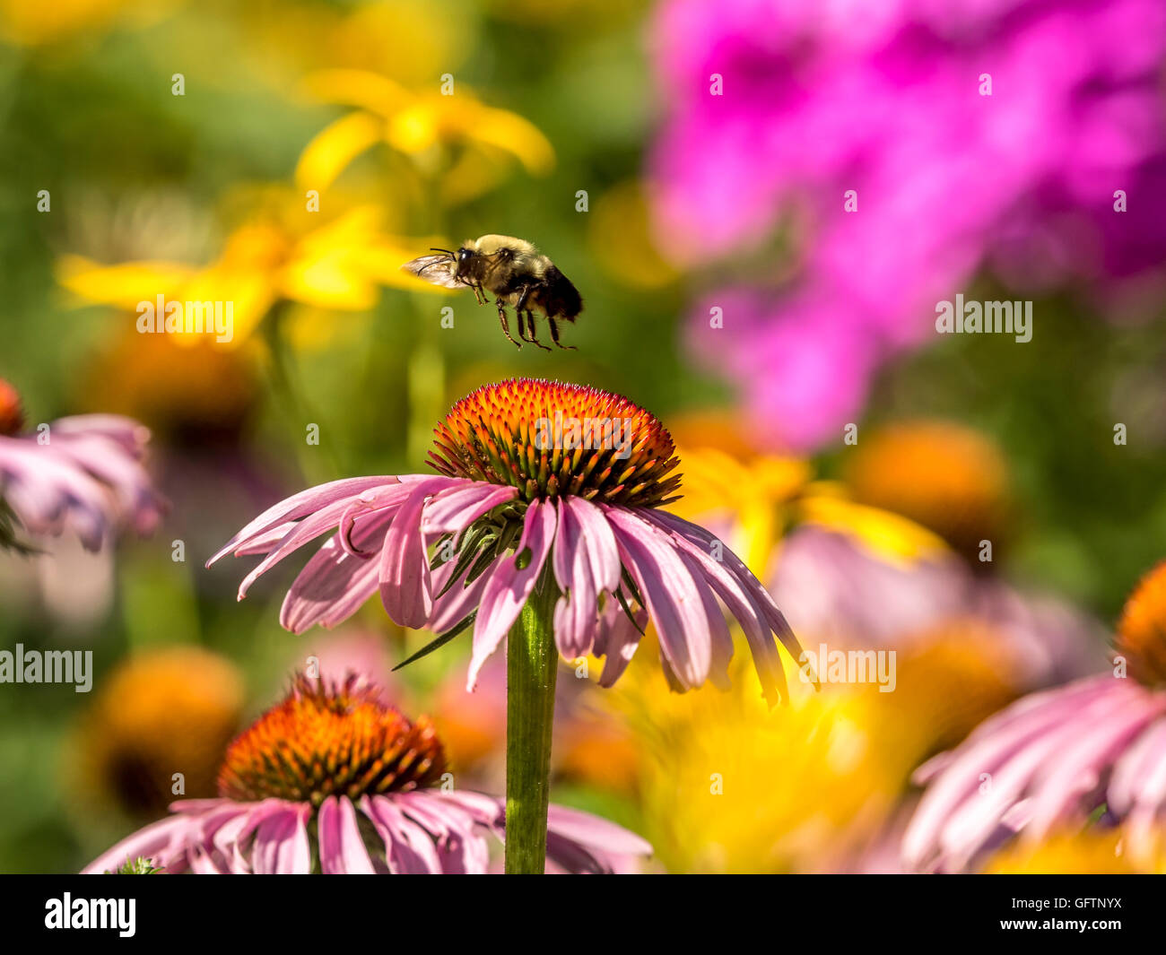 bumblebee, also written bumble bee, is any member of the bee genus Bombus, in the family Apidae - Stock Image