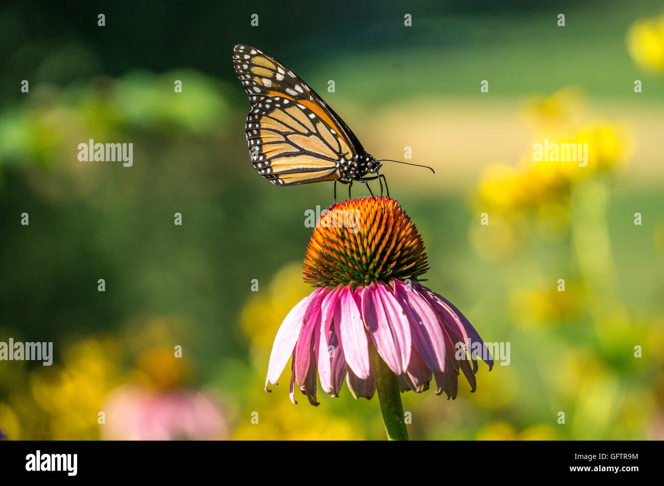 monarch butterfly,Danaus plexippus is a milkweed butterfly (subfamily Danainae) in the family Nymphalidae - Stock Image