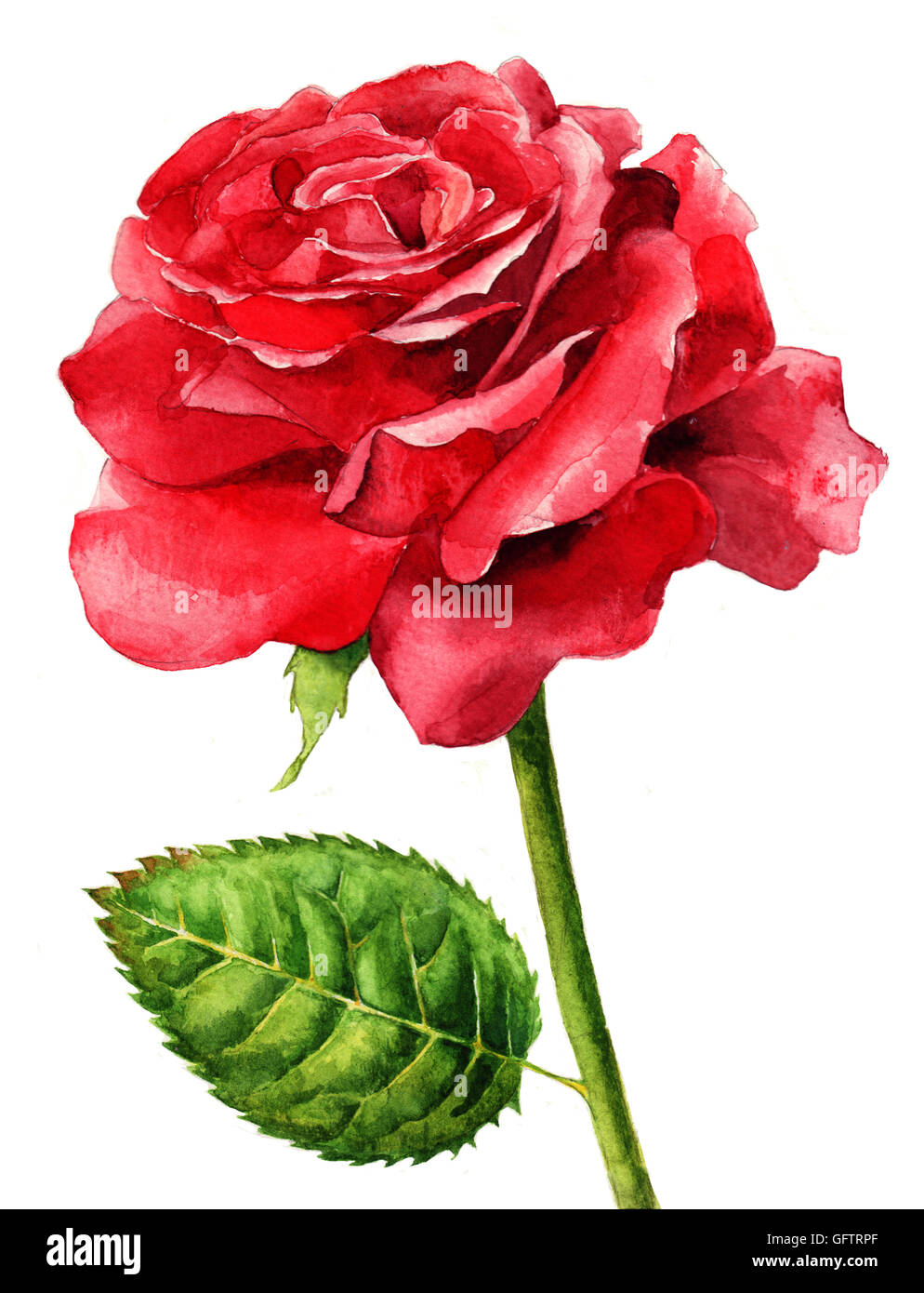 Hand Painted Watercolor Single Red Rose In Full Bloom