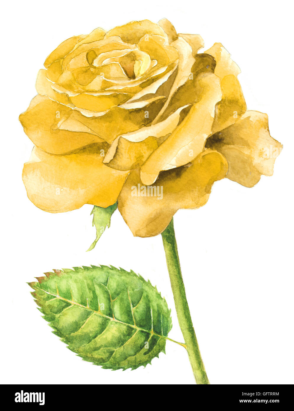 Hand Painted Watercolor Single Yellow Rose In Full Bloom