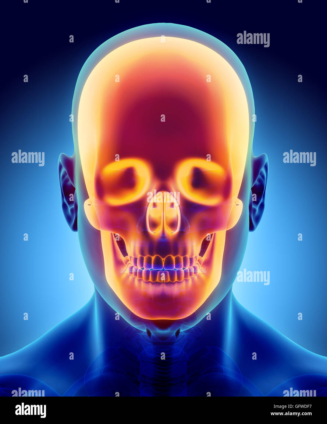 3D illustration of skull anatomy - part of human skeleton, medical ...
