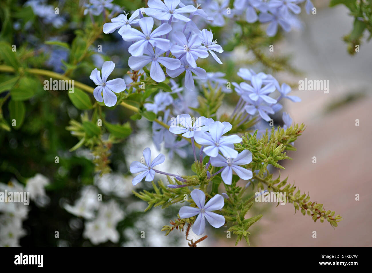 Jasmine Blue Plumbago Flowers Stock Photo 113063213 Alamy