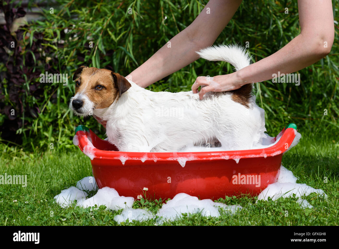 Dog washing with soap foam in red wash-basin at open air - Stock Image