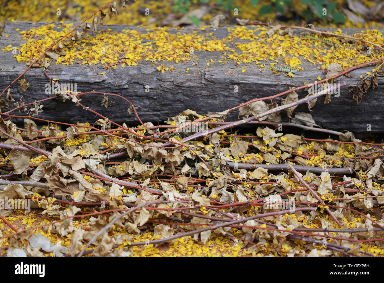 Trimmed and Dried Leaves and Flowers. Dry stalks of Bogonbilih with yellow flowers of Poinciana tree in a heap near - Stock Image