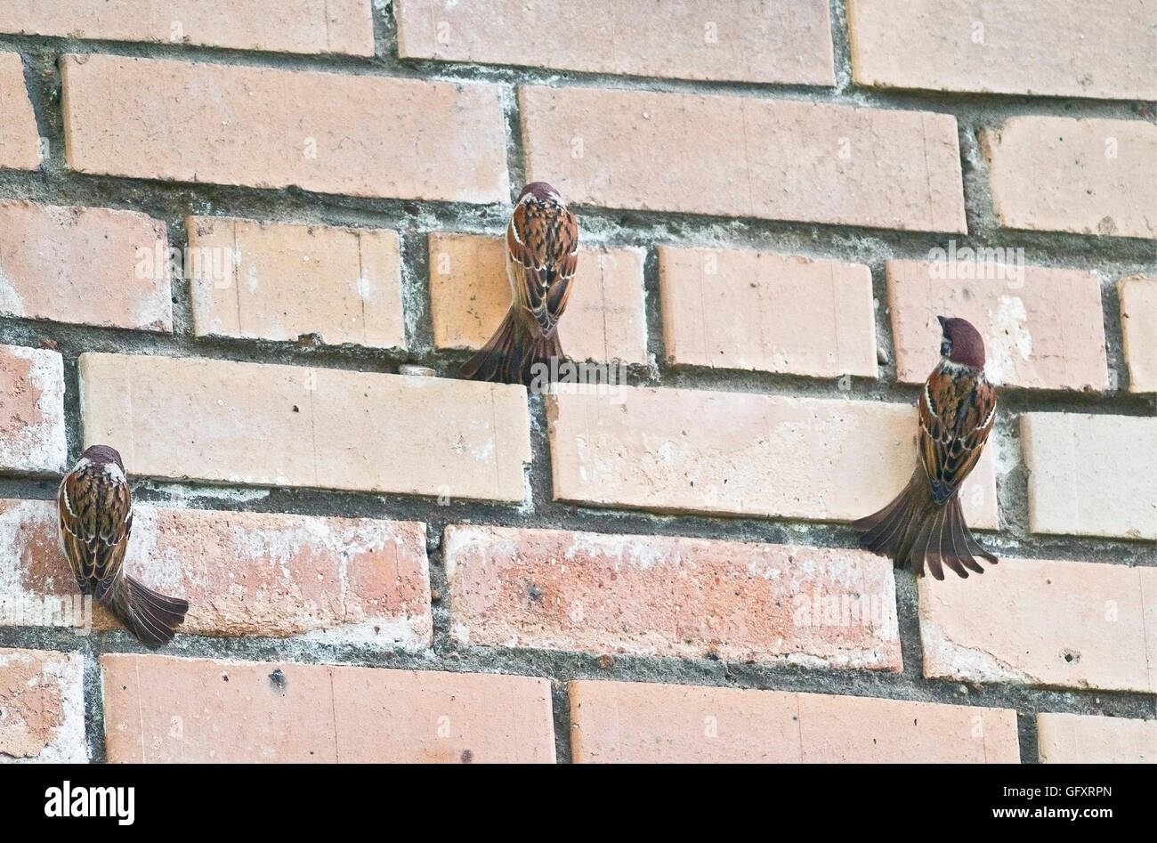 Funny sparrows have a mineral feeding on the wall stock photo funny sparrows have a mineral feeding on the wall thecheapjerseys Gallery