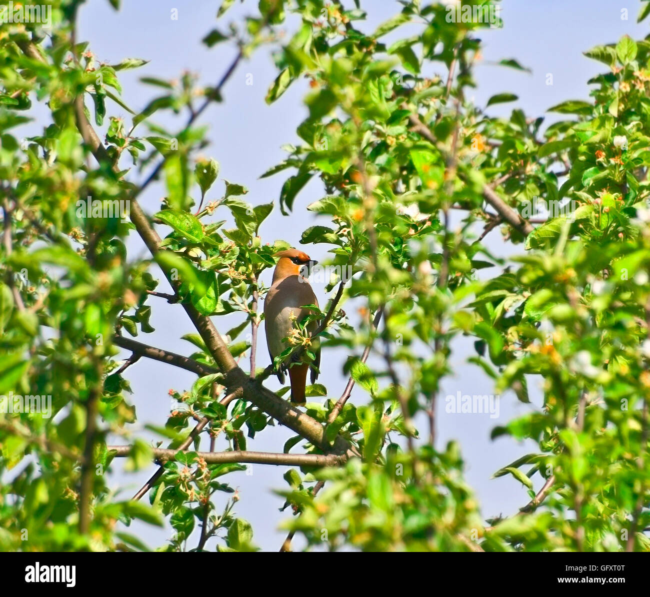 the Waxwing in foliage - Stock Image