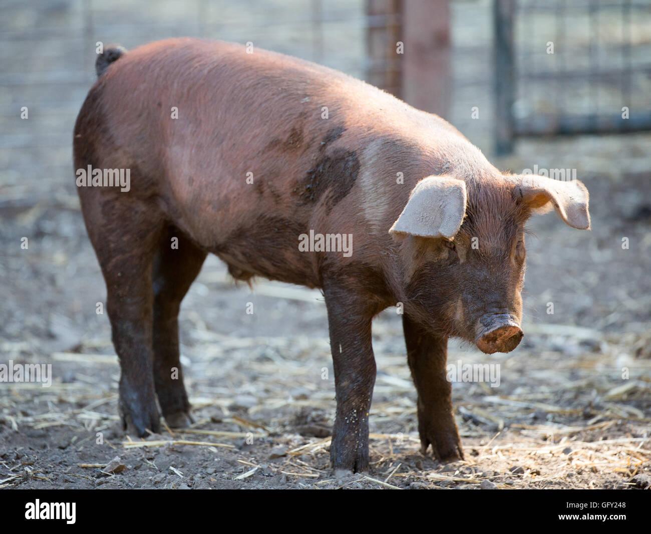 Pig Breeds Stock Photos & Pig Breeds Stock Images - Alamy