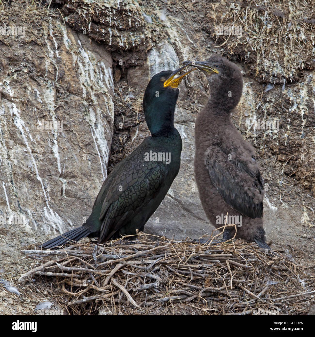 European shag on nest with chick - Stock Image