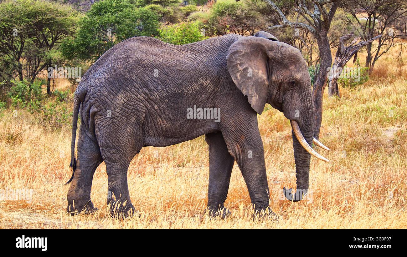 Elephant in Ngorongoro National Park, Tanzania, Africa - Stock Image
