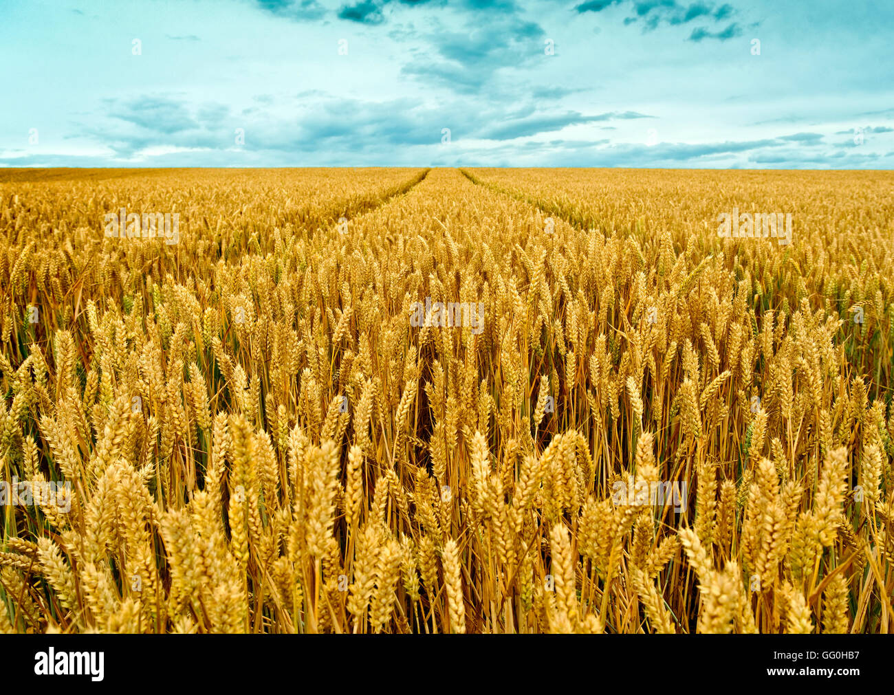 WHEATFIELD OR FIELD OF GROWING WHEAT IN THE UK - Stock Image