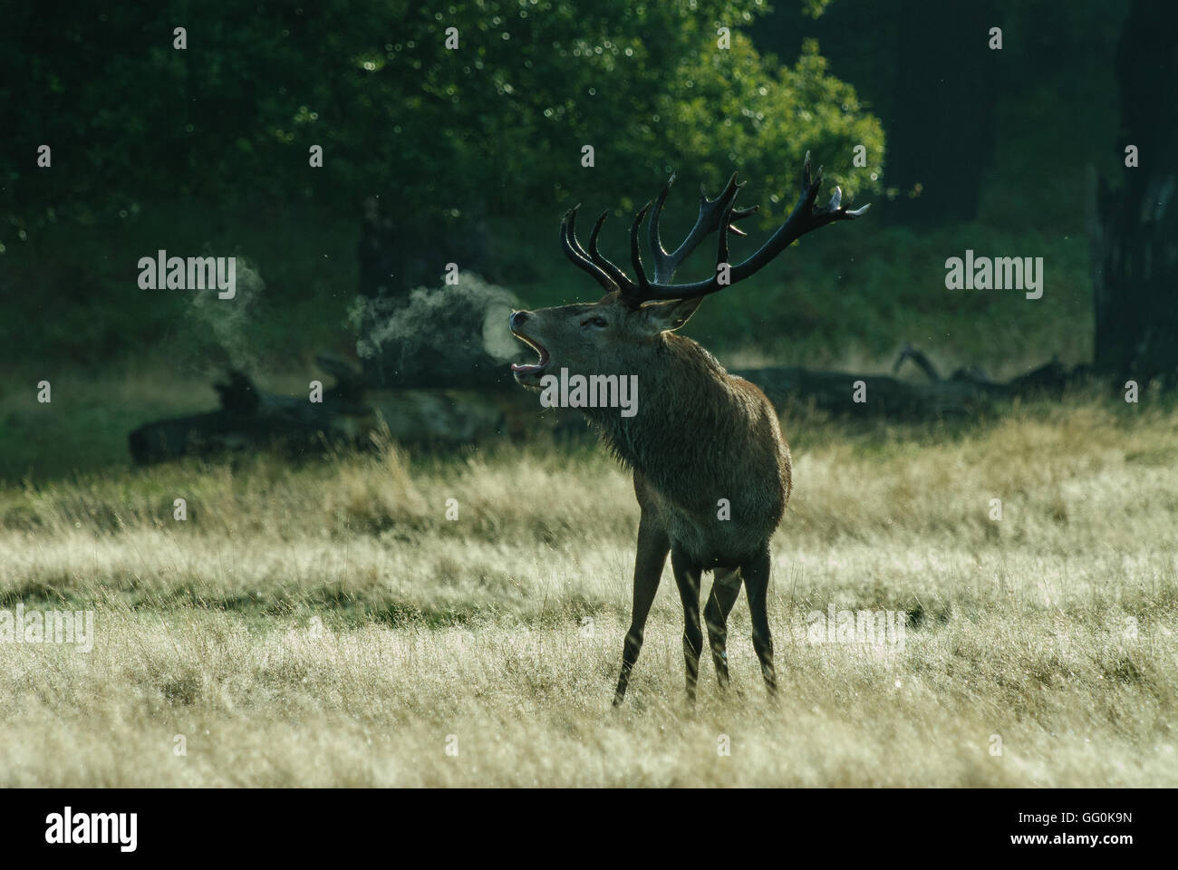 Belling red deer stag on a cold morning with a cloud of mist coming from his mouth when he calls with a belling - Stock Image