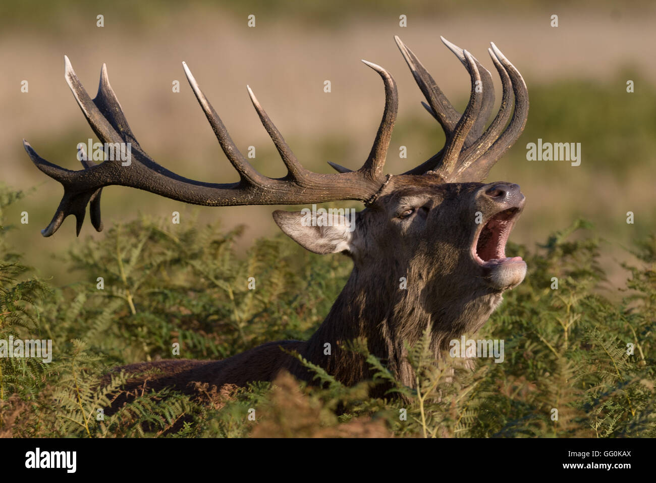 During the rutting season Red deer stags make a loud roaring noise (belling) Stock Photo