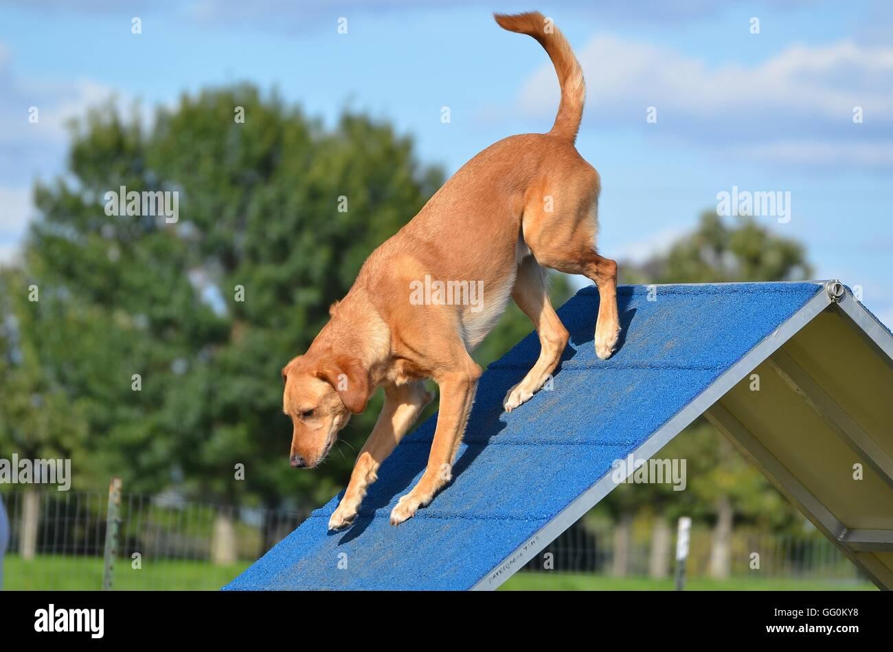Yellow Labrador Retriever on an A-frame at Dog Agility Trial Stock ...