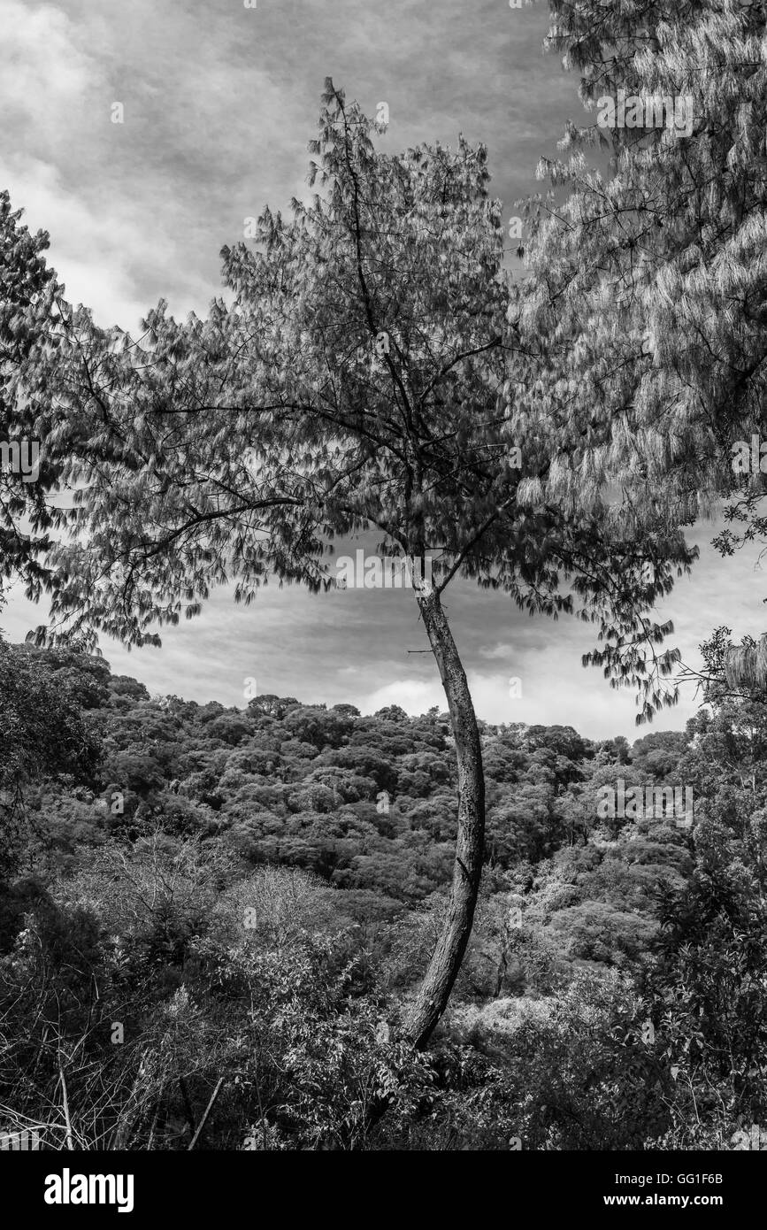 Pine with curved trunk in the forest. Black and white - Stock Image