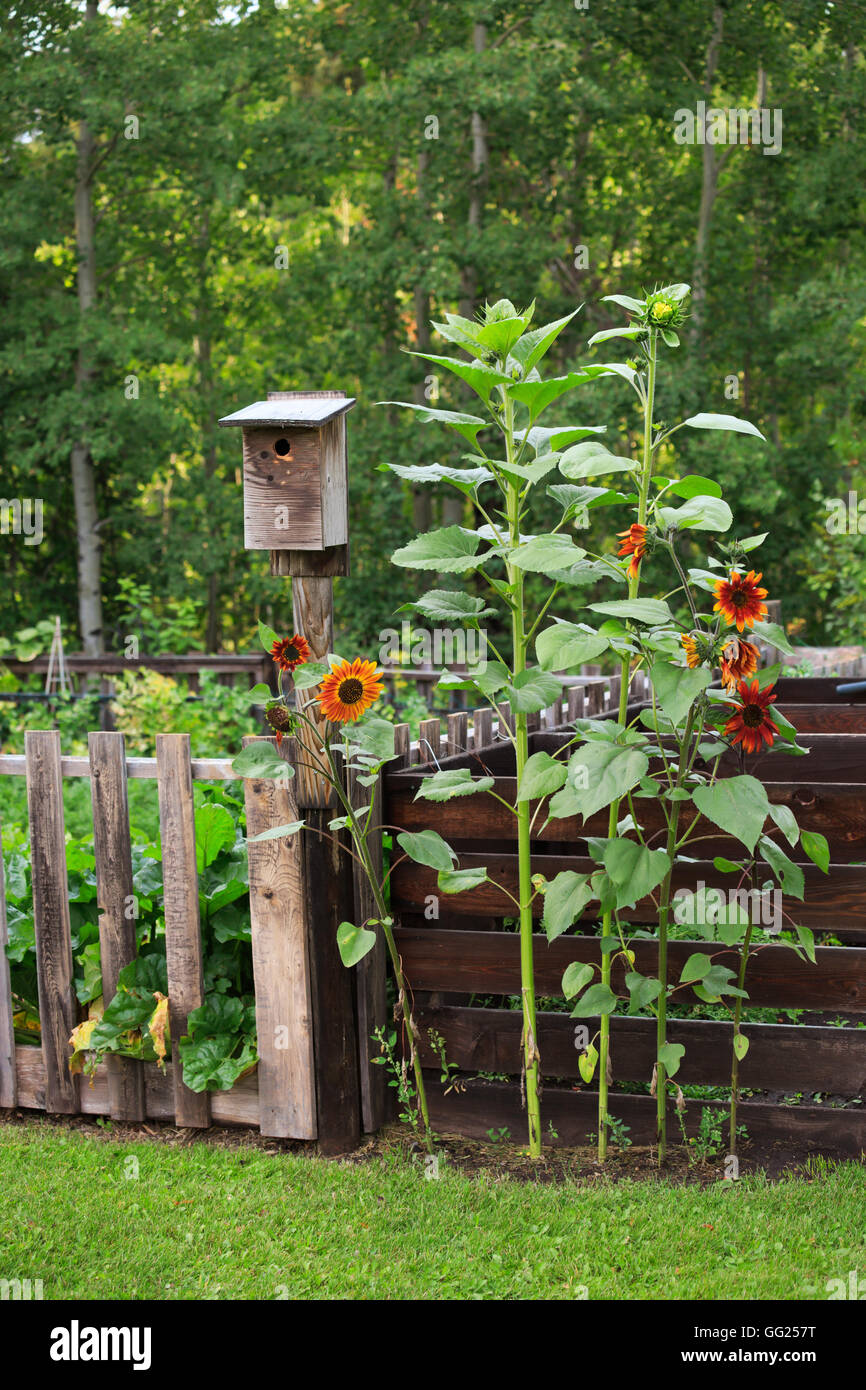 Birdhouse and sunflowers in a country garden. - Stock Image