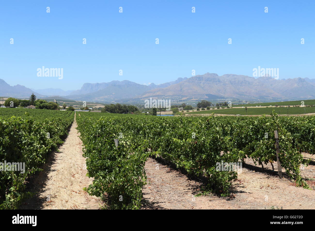 Rows of grapevines at a vineyard with mountains in the background at Mulderbosch Wines, Stellenbosch, South Africa Stock Photo