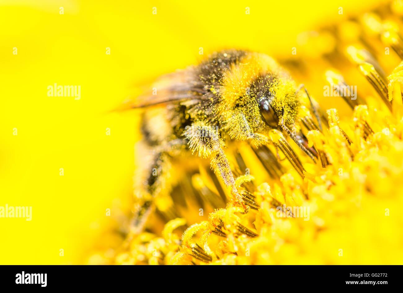 Bees in the garden , in Voorschoten Holland - Stock Image