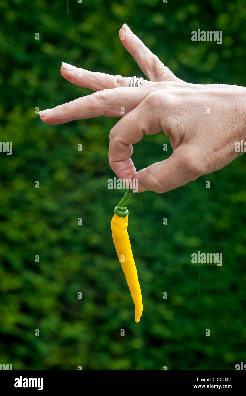 Unusual types of chili / chilli being grown in England. - Stock Image