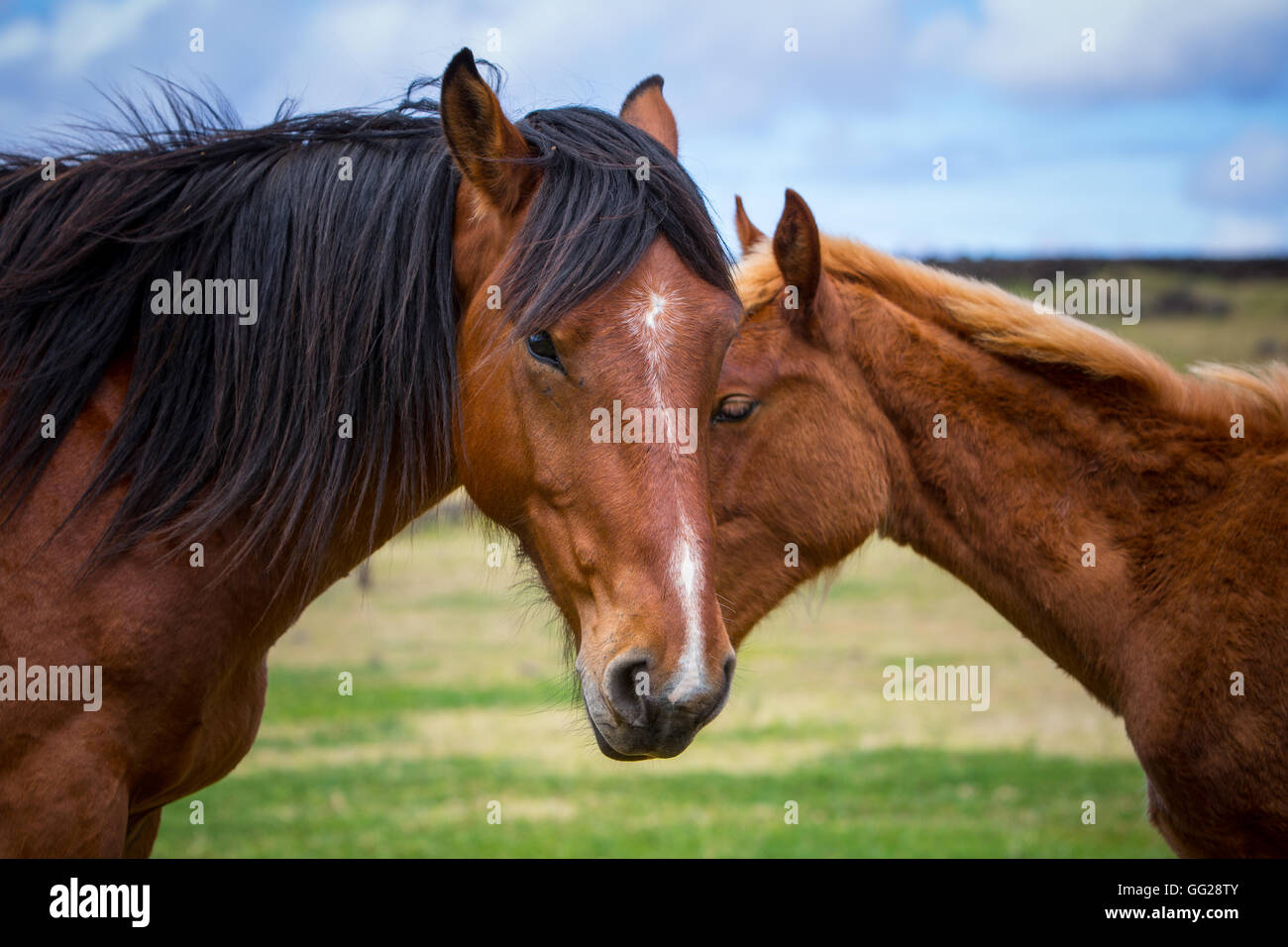 Wild Horses on Easter Island - Stock Image