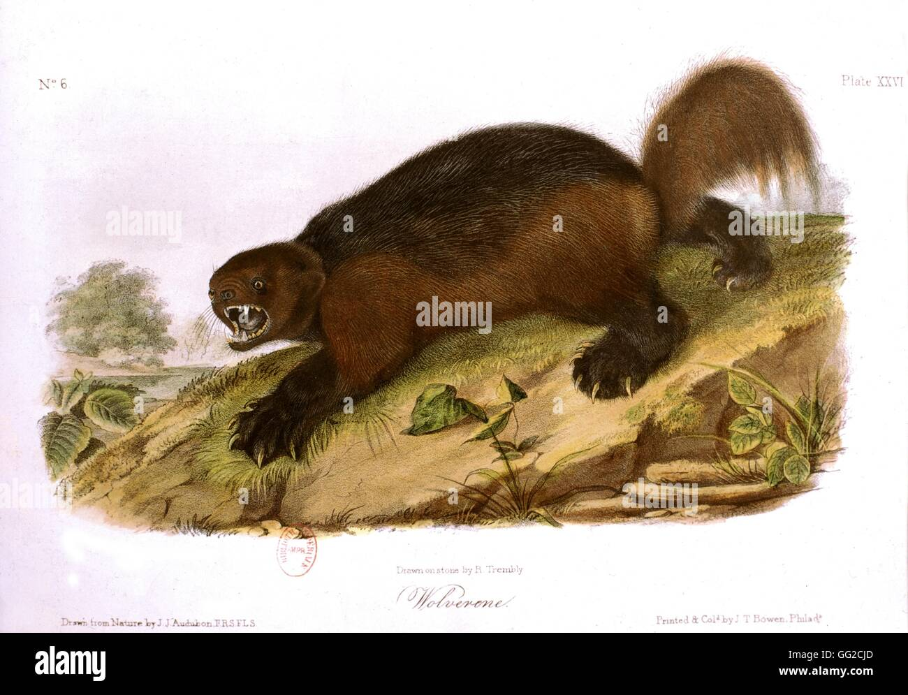 Quadrupeds from North America: the wolverine 1845 J.J. Auderbon and Rév. Bachman - Stock Image
