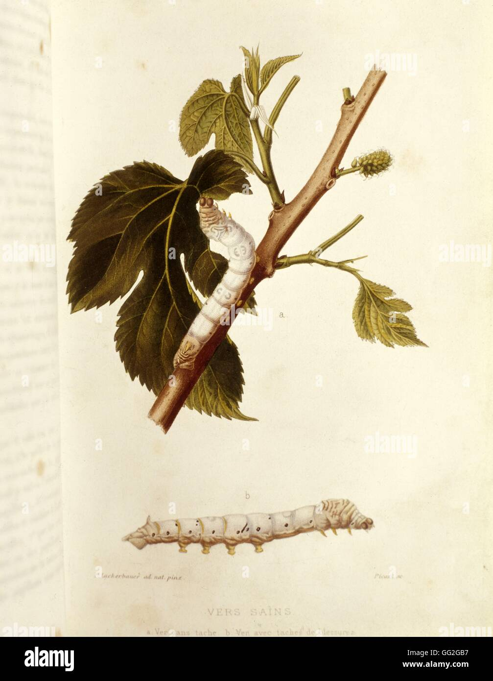 P. Lackerbauer Louis Pasteur works on silkworms diseases: healthy silk-worms 1870 Plate published in 'Maladies - Stock Image