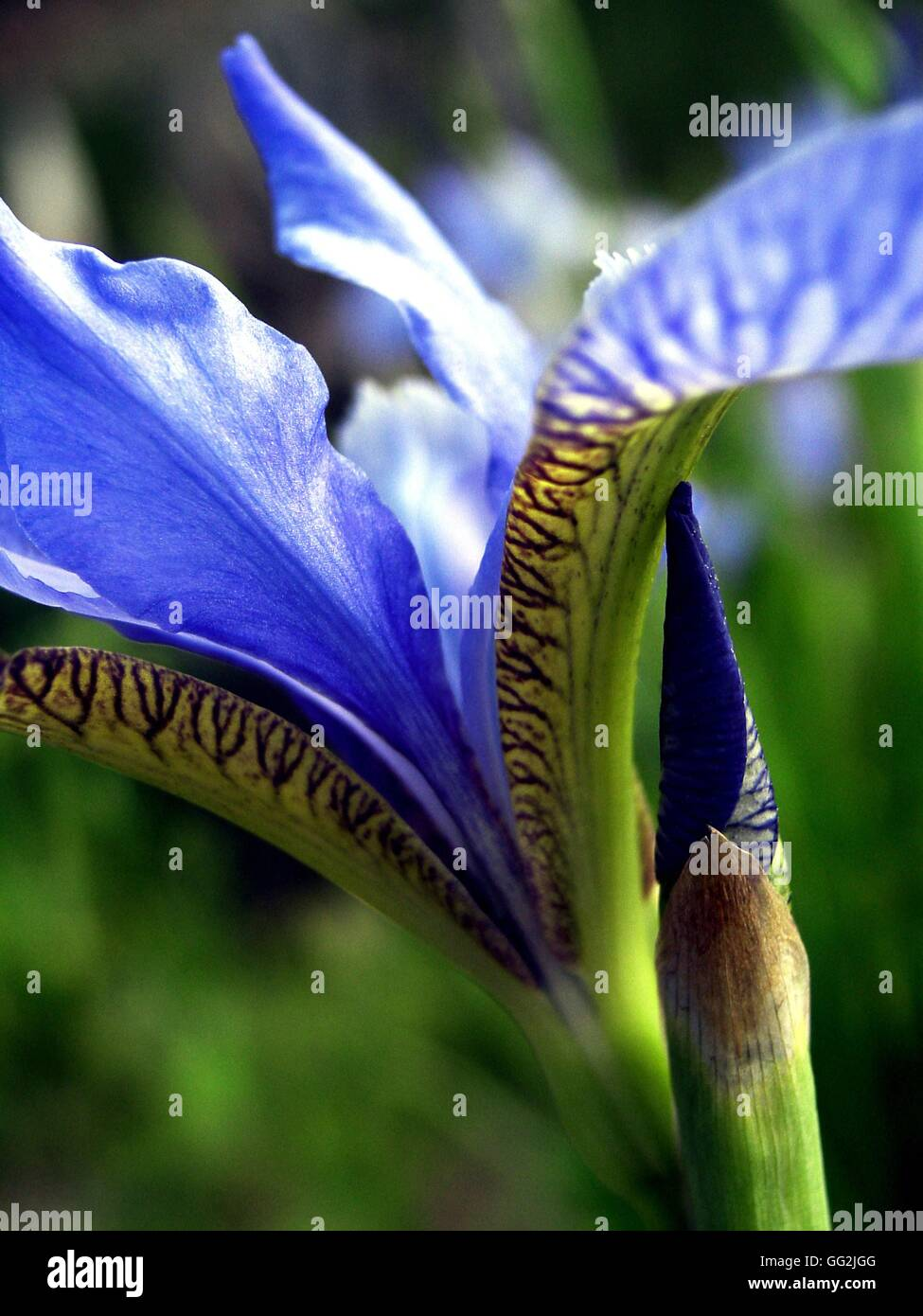Iris Sibirica Siberian Iris Spectacular Flower With Blue Violet
