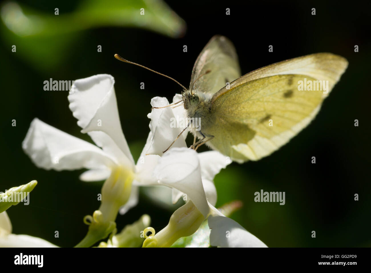 Small white butterfly (pieris rapae) warming up in the morning sunshine on a star jasmine flower Stock Photo