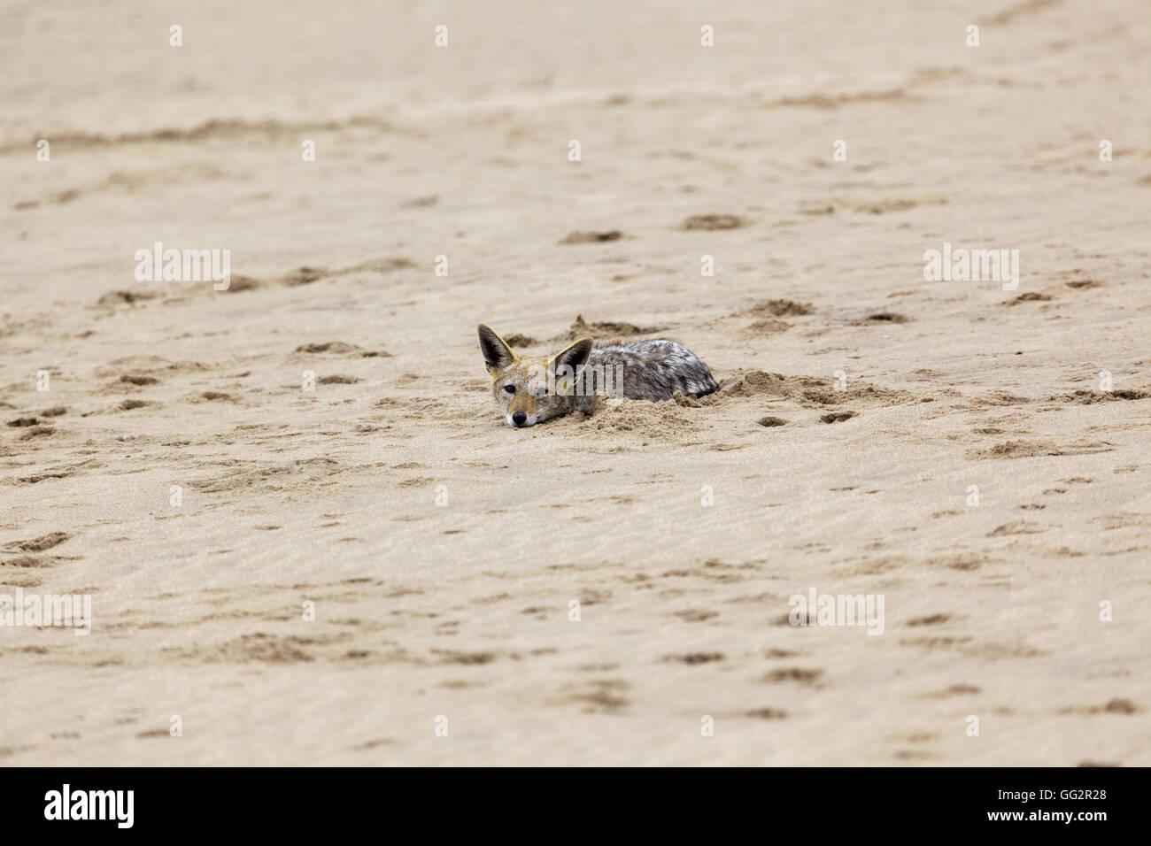 Walvis bay Namibia Black backed Jackal  (Canis mesomelas), Pelican Point Stock Photo