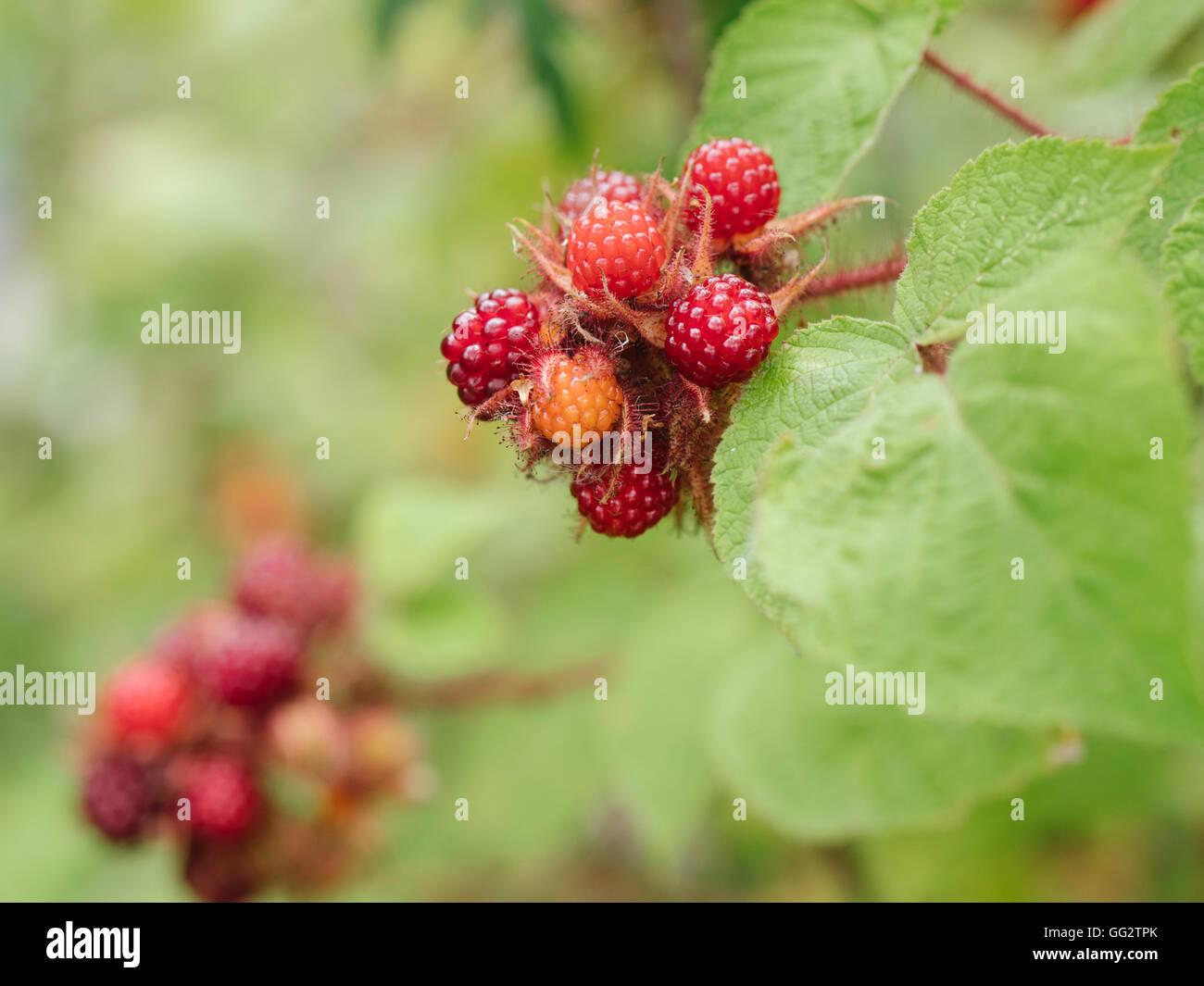 Detail of Japanese Wineberries (Rubus phoenicolasius) in a garden.Stock Photo