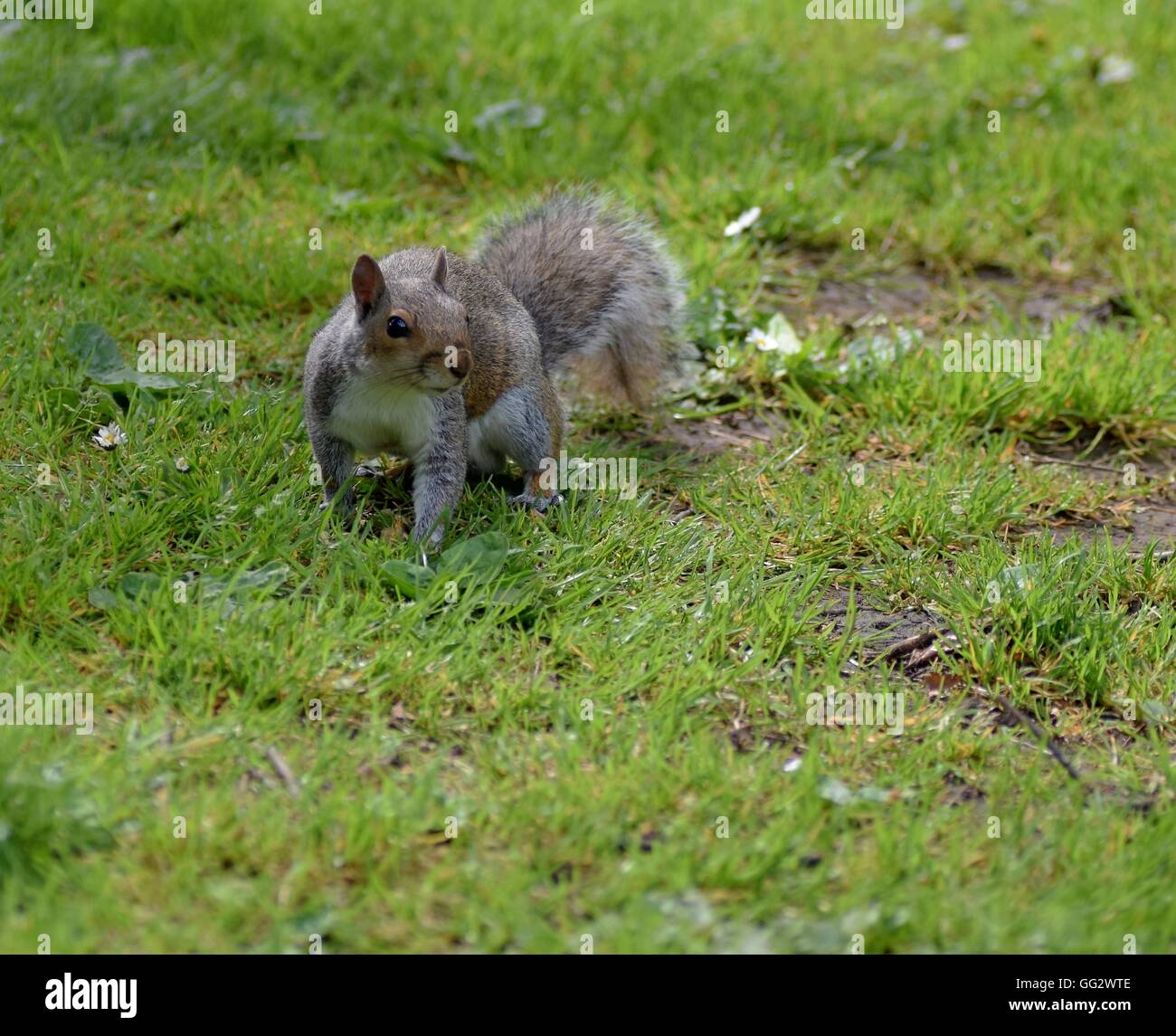 Grey squirrel looking for food in People's Park in Banbury - Stock Image