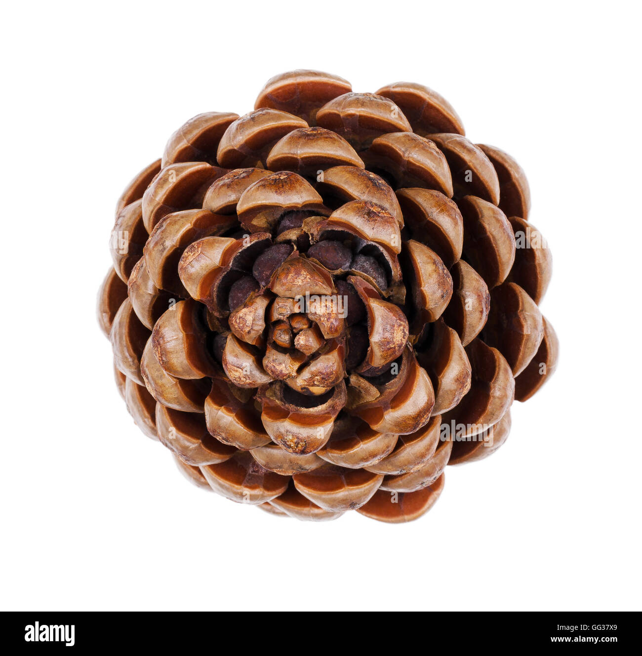 Pine cone closeup. Geometric conifer cone in the division Pinophyta that contains the reproductive structures, the - Stock Image