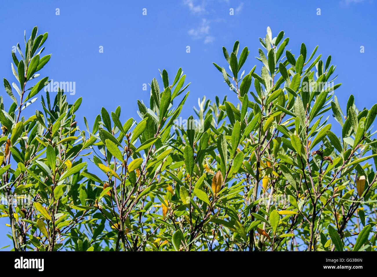 Bog-myrtle / sweetgale (Myrica gale / Gale palustris) foliage in summer - Stock Image