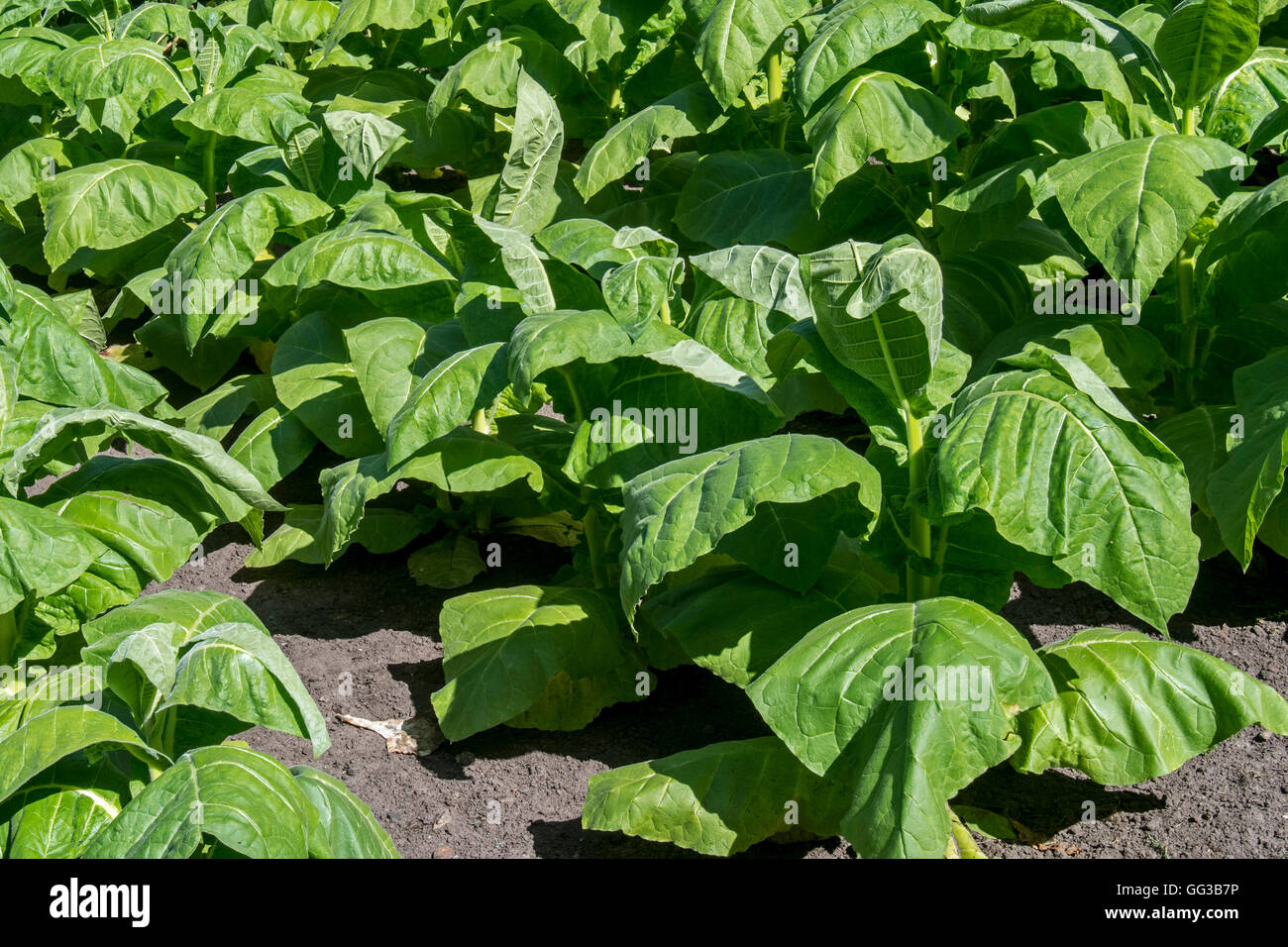 Aztec tobacco / wild tobacco (Nicotiana rustica) plants in field - Stock Image